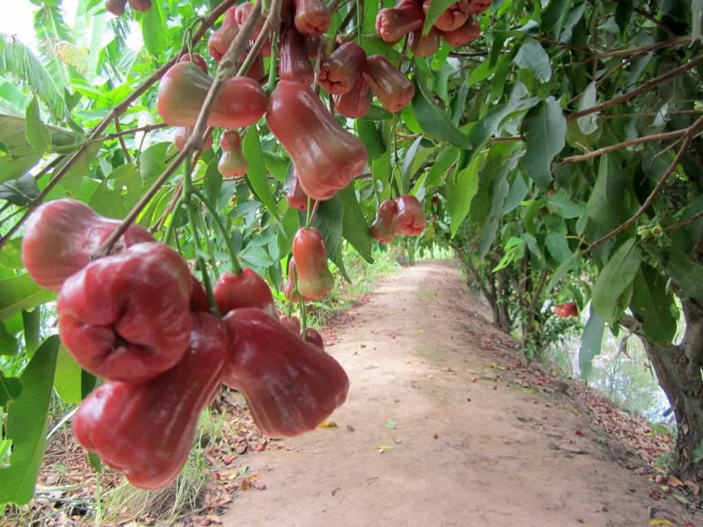 Miệt vườn Vĩnh Kim - Tour du lịch miền Tây