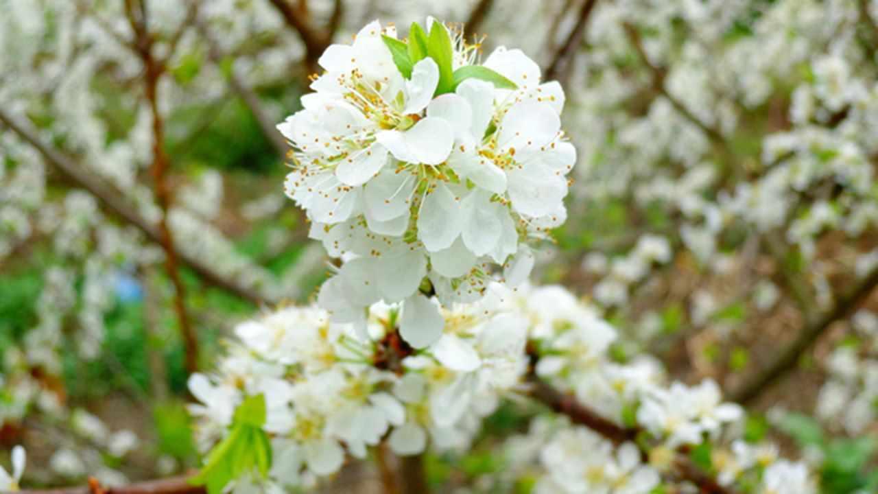 Tour Tây Bắc - Du lịch Tây Bắc ngắm hoa mận nở trắng cả một vùng trời xanh
