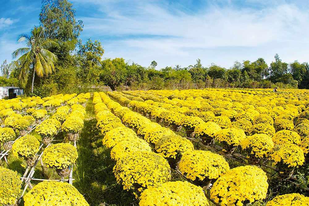 Làng hoa Bà Bộ rực rỡ sắc hoa vàng. Tour cần thơ, tour can tho