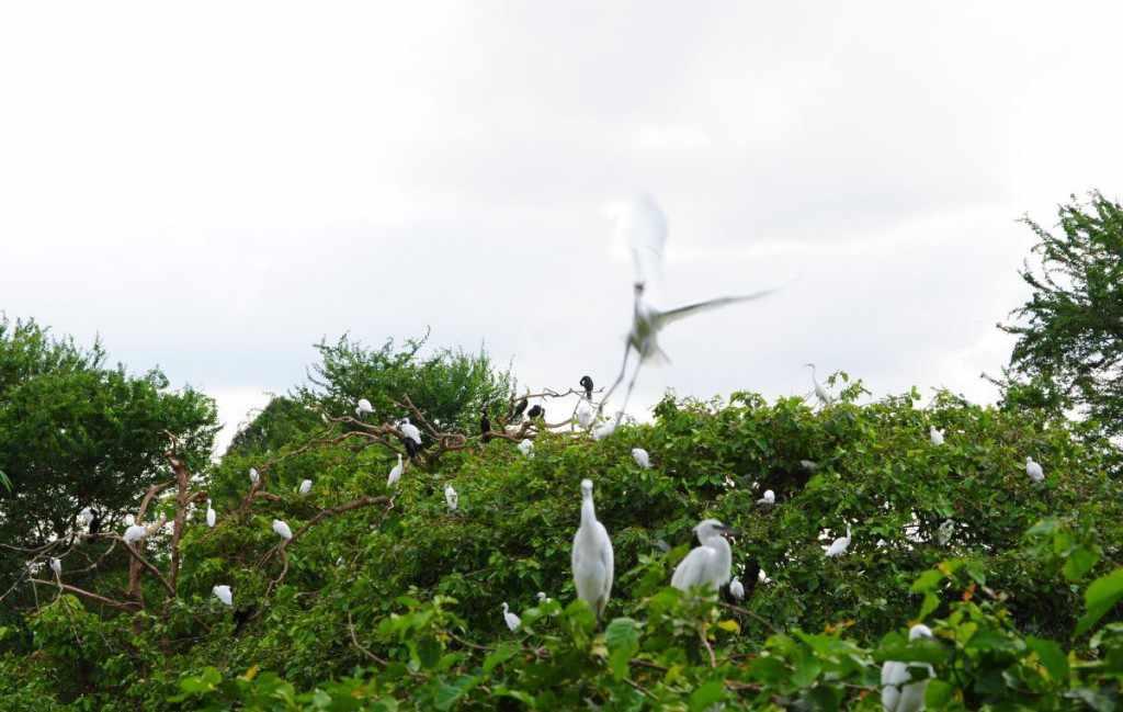 Vườn cò Bằng Lăng cũng là điểm đến du lịch Cần Thơ hấp dẫn đối với những ai yêu thiên nhiên, động vật.