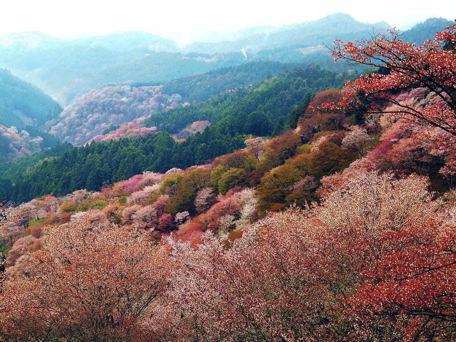 Trong tour châu Á đến Nhật Bản, bạn hãy nhớ ghé thăm núi Yoshino nhé.