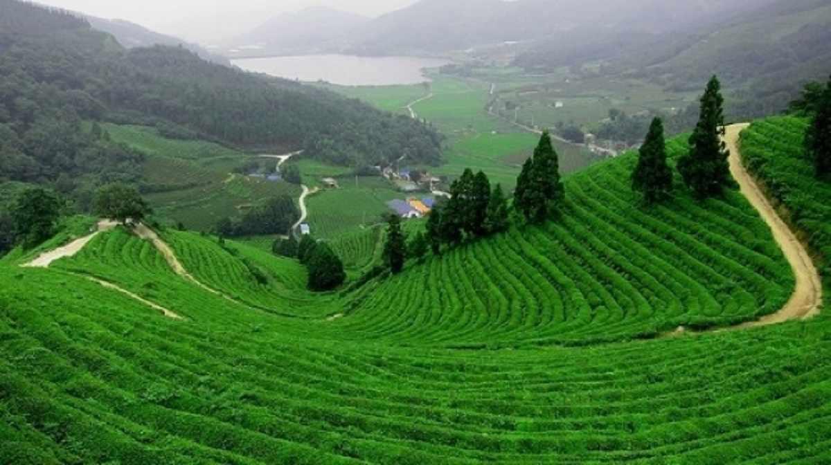Đồi chè Tân Cương xanh mướt mắt cũng là điểm đến tour du lịch Đông Bắc của nhiều du khách trong và ngoài nước.