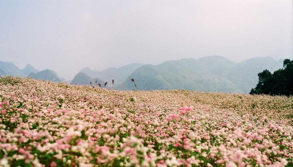 Tháng 10 rủ nhau lên Hà Giang, sống ảo ở những cánh đồng tam giác mạch đẹp trong trẻo như thế này. Tour Đông Bắc.