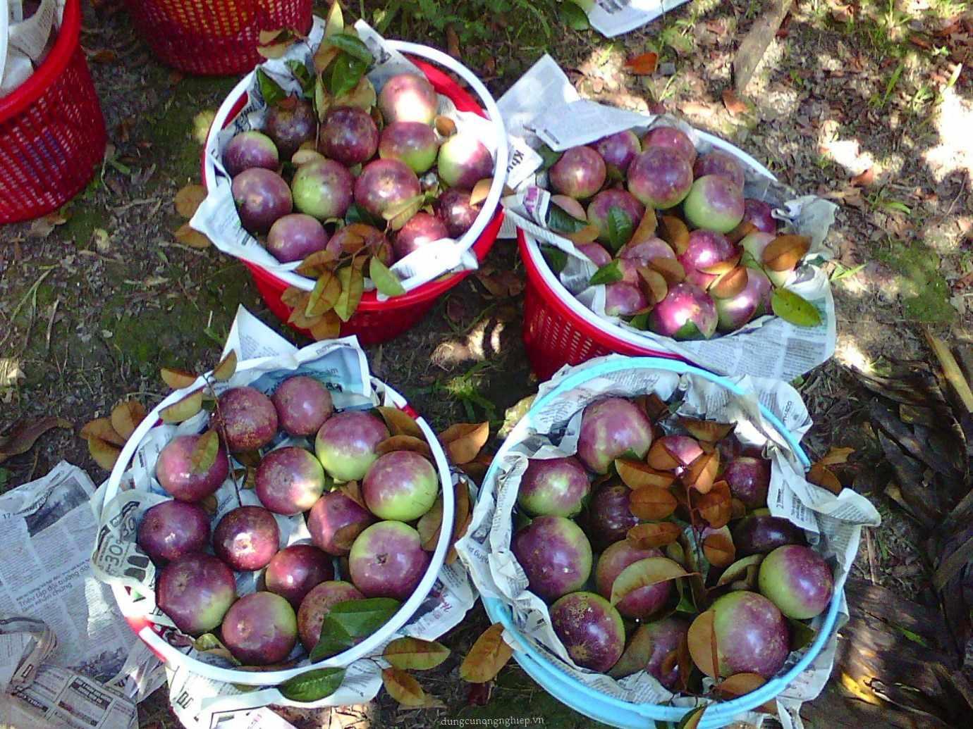 Nếu có đi tour Tiền Giang, hãy ghé qua miệt vườn Vĩnh Kim để thưởng thức những trái vú sữa ngọt mát này nhé.